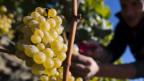Die Weinbauern im Lavaux stören sich an die Unesco-Vorgaben.