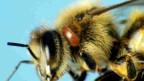 Eine von einer Varroa-Milbe (brauner Fleck hinter dem Auge) befallene Honigbiene.