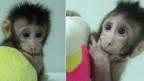 Die geklonten Affen Zhong Zhong und Hua Hua.