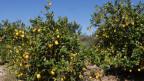 Zitronenbäume in Murcia, Spanien.