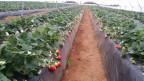 Mit dem «Plan Maroc Vert» will Marokko die Landwirtschaft produktiver machen und setzt auf den intensiven Anbau und neue Produkte. Massiv ausgebaut hat Marokko die Produktion von roten Früchten wie Erdbeeren oder Himbeeren – mehr als 90 Prozent davon geht in den Export.