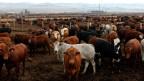 Kühe auf einer Beef-Farm ausserhalb von Heidelberg, südöstlich von Johannesburg.