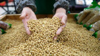 China importiert sehr viele Sojabohnen aus den USA - im Wert von rund 14 Milliarden Dollar pro Jahr. Neu verlangt China nun 25 Prozent Einfuhrzoll.