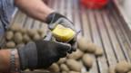 Qualitätskontrolle von Kartoffeln.