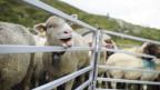Schafe im Fextal.