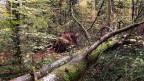 Im Sihlwald in der Nähe der Stadt Zürich entsteht seit 15 Jahren ein Naturwald, der sich immer mehr in Richtung Urwald entwickelt.