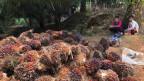 Palmölfrüchte verheissen Fortschritt und ein Einkommen – für die Indigenen bedeuten sie jedoch meist den Verlust von Wald, Landrechten und Identität.