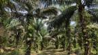 Palmölplantage in Indonesien.