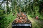 Palmölfrüchte in Indonesien