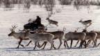 Die Moderne in Lappland: Zu sehen ist ein Rentierhirte, der seine Herde auf dem Motorschlitten begleitet..