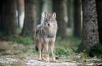 Der Wolf sorgt im Kanton Uri für Unmut