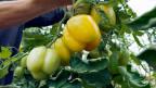 Wie sinnvoll sind Patente für Pflanzen?