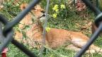 Marion einer der drei geretteten Löwen aus dem Rafah Zoo in Gaza, jetzt im Al Ma'awa Naturreservat in Jordanien.