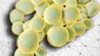 Der Pilz Candida auris ist sehr resistent gegen Antibiotika.