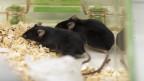 Mäuse in einem Tierlabor.