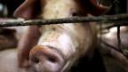 Schweinepest in China: Millionen von Schweinen erkrankt