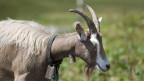 Die frühen Bauern brachten Rinder, Ziegen und Schafe mit – aus Syrien, Irak und Iran.