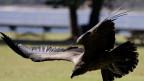 Ein Anden-Kondor.