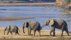 Afrikakanische Elefanten im Nationalpark in Sambia.