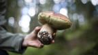Giftig oder nicht? Wer Pilze sammelt, sollte genau Bescheid wissen.