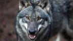 Schutz der Wölfe wird gelockert