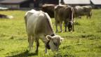 PCB landet auf unseren Tellern, wenn Tiere kontaminierte Erde oder verseuchtes Futter fressen.