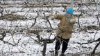 Eine Frau schneidet Reben in Sewastopol auf der Krim.