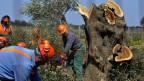 Arbeiter schneiden kranke Olivenbäume.