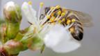 Eine Biene beim Nektar sammeln.