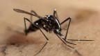 Invasion der Tigermücken?
