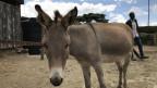 Das Bild zeigt einen Esel in Kenia