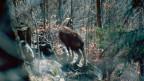 Der Wildverbiss, z.B. von Gämsen und Hirschen, gilt als eines der grössten Probleme im Schutzwald.