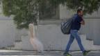 Pelikan und Arbeiter auf Mykonos