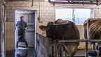 Tierarzt auf einem Hof im Kanton Glarus. Für regelmässige Kontrollen fehlen den Kantonstierärzten die Mittel.