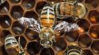 Im vergangenen Winter ist die Hälfte der Schweizer Bienenvölker gestorben.