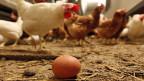 Ein frisch gelegtes Ei in einem Hühnerstall.
