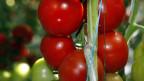 Kaufe ich eine Tomate aus Schweiz oder ein billigere aus dem Ausland? Uniterre fordert weniger Importe.