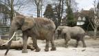 Elefanten in der Elefantenanlage im Zoo im April 2013. Voraussichtlich wird im August 2013 mit dem Bau einer neuen Elefantenanlage begonnen.