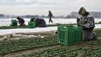 Ausländische Landwirtschafts-Arbeiter auf einem Feld im Kanton Thurgau.