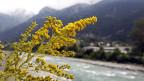 Neophyten: Die kanadische Goldrute,  ein schwieriger Fall. Man bekommt sie nicht so einfach wieder aus dem Boden.