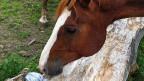 Eines der Pferde von Jean-Pierre Rochat.