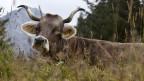 Ein Kuh mit stattlichem Gehörn auf einer Herbstweide in Sapuen oberhalb Langwies im bündnerischen Schanfigg.
