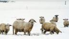 Gutes Wetter und genügend Gras lassen die Schafe wachsen. Das bringt Geld, denn der Schäfer verkauft ihr Fleisch: Alle zwei, drei Wochen wählt er 20 bis 50 Lämmer aus, aber auch die alten Schafe lässt er verwerten.