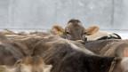 Viele Kühe sind nicht mehr die ganze Zeit im Stall angebunden und werden mit ihren Kälbern zusammen gehalten.