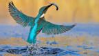 Tiere und Pflanzen sollen im Auenschutzgebiet Vorrang haben. Bild: Eisvogel.