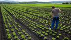 Verantwortlich für die Bodenabsenkungen im Grossen Moos ist der Torf im Boden. Er ist sehr nährstoffreich, darum gedeiht das Gemüse so gut. Aber Sonne und Luft machen, dass sich derTorf zersetzt, buchstäblich in Luft auflöst.