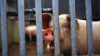 Auch in Schweizer Ställen verabreichen Bauern ihren Tieren jedes Jahr tonnenweise Antibiotika; rund 57 Tonnen waren es allein im Jahr 2012.