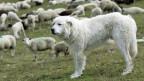 Ein Maremma-Hund bewacht am Flüelapass eine Schafherde.