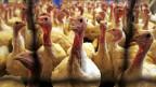 Bei den Vorsorgemassnahmen, die ab sofort greifen sollen,  geht es im Moment vor allem um den Schutz der Schweizer Geflügelbestände und weniger um die KonsumentInnen.