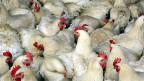 In Holland waren es Legehühner, in Deutschland Truthühner - Geflügel, angesteckt mit dem für Europa neuen Vogelgrippe-Virus H5N8.